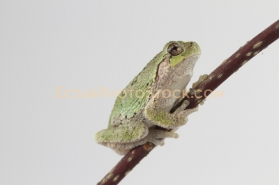 American tree frog climbing up the branch