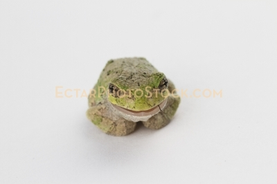 American tree frog isolated on eating