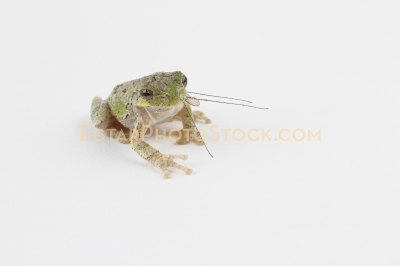 American tree frog isolated on eating long legged mosquito