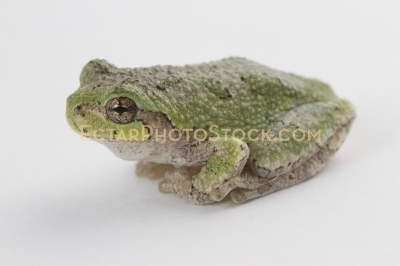 American tree frog isolated on rest on white isolated
