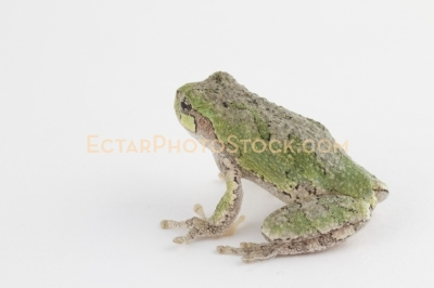 American tree frog isolated on white back view
