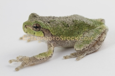 American tree frog isolated on white side view