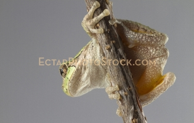 American tree frog on the branch from the bottom