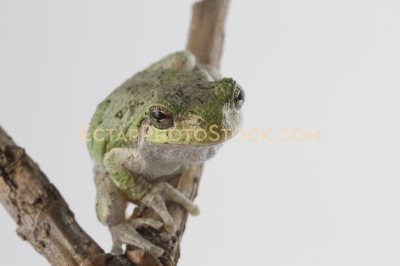 American tree frog on the branch looks at camera