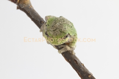 American tree frog on the branch ready to jump on camera