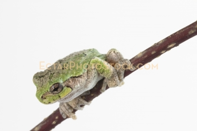 American tree frog on the branch ready to jump to the left