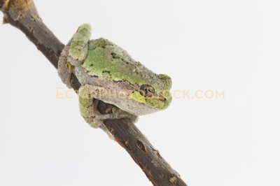 American tree frog on the branch ready to jump to the right