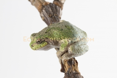 American tree frog on the branch sits across