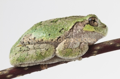 American tree frog rest on the branch side