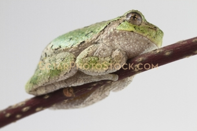 American tree frog rest on the branch side bottom