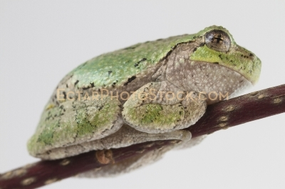 American tree frog rest on the branch side down