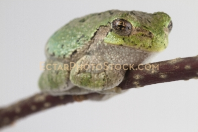 American tree frog rests on the branch far